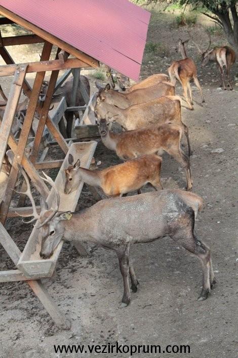 kunduz-dagi-geyik2