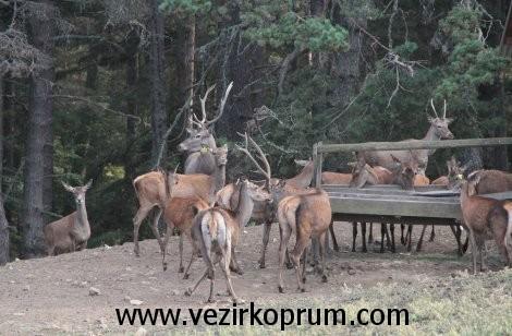 kunduz-dagi-geyik3