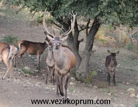 kunduz-dagi-geyik4