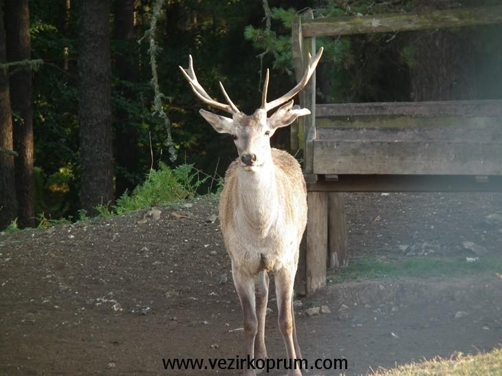 kunduz-geyik1